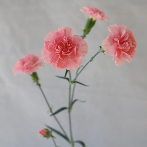 ピンクアメリ