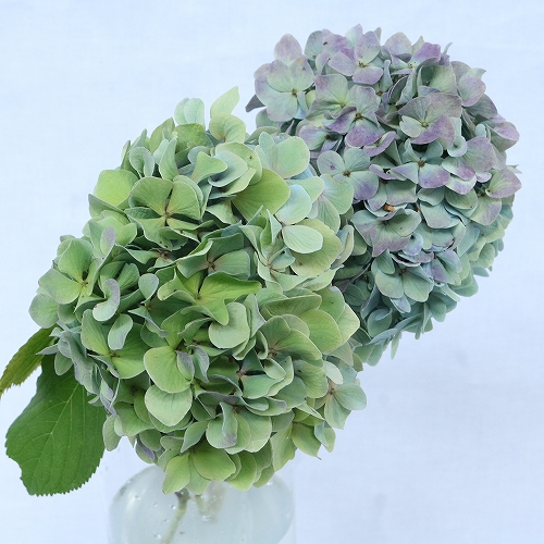 秋色アジサイ 紫