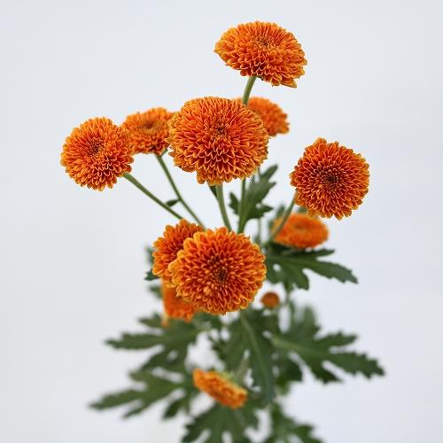 カリメロオレンジ