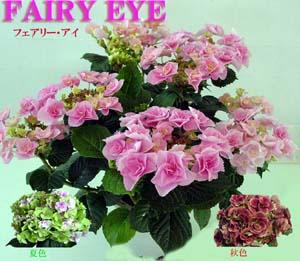 fairyeye.JPG