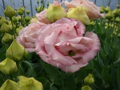 k.pink.jpg