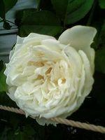 rose15.jpg