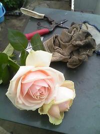 rose25.jpg