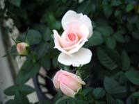 rose_zoom2.JPG